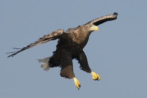 Sea Eagles potentially being re-introduced in to Cumbria